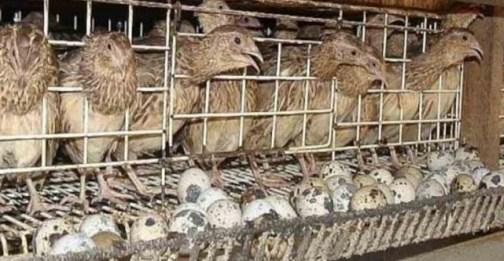 Pengusaha  Burung Puyuh Raup Omzet Puluhan Juta Rupiah